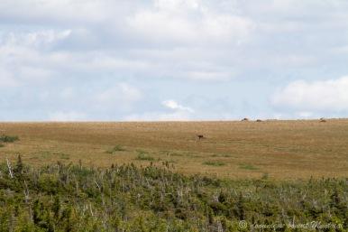 au loin, un caribou de la Gaspésie