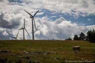 En gaspésie, les vaches ne regardent pas tourner les éoliennes