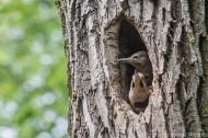 Jeunes pic blamboyants au nid
