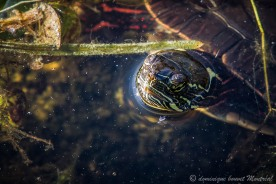 Tortue peinte (Painted Turtle) Chrysemys picta, Parc Chartrand, Longueuil
