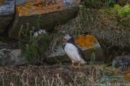 Macareux des iles Mingan