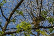 Épervier de cooper, tente d'impressionner un écureuil qui montait dans l'arbre