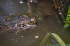 TORTUE SERPENTINE (Common Snapping Turtle) Chelydra serpentina serpentina