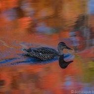 Femelle Colvert en automne