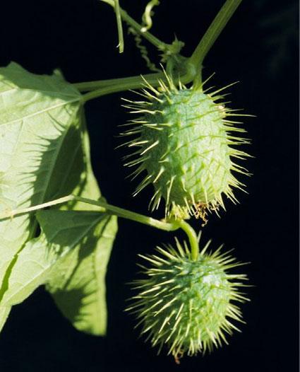 Concombre-sauvage-(Echinocy
