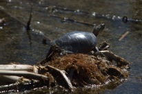 La tortue bronze