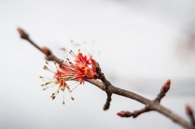 Fleur d'érable rouge