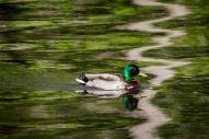 De ce côté de la rivière, un colvert joue dans les reflets