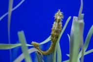 C'est le cheval de mer qui tient la bride