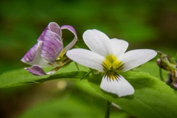 Blanche ou violette, la violette du Canada?