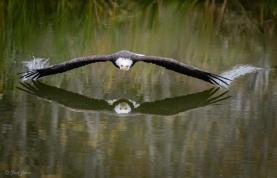 aigle-en-vol-au-dessus-dun-lac-au-canada