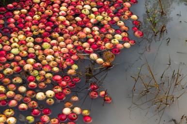 J'ai trouvé du rouge grâce à ces pommes à chervreuiis
