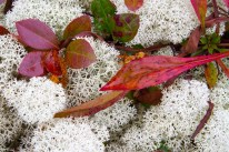 Un peu de rouge sur les lichens